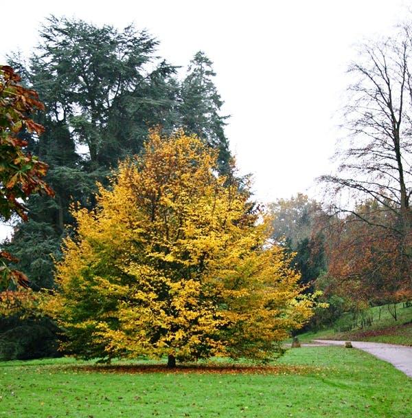 Persian Ironwood (Parrotia Persica Vanessa) © Barcham Trees PLC