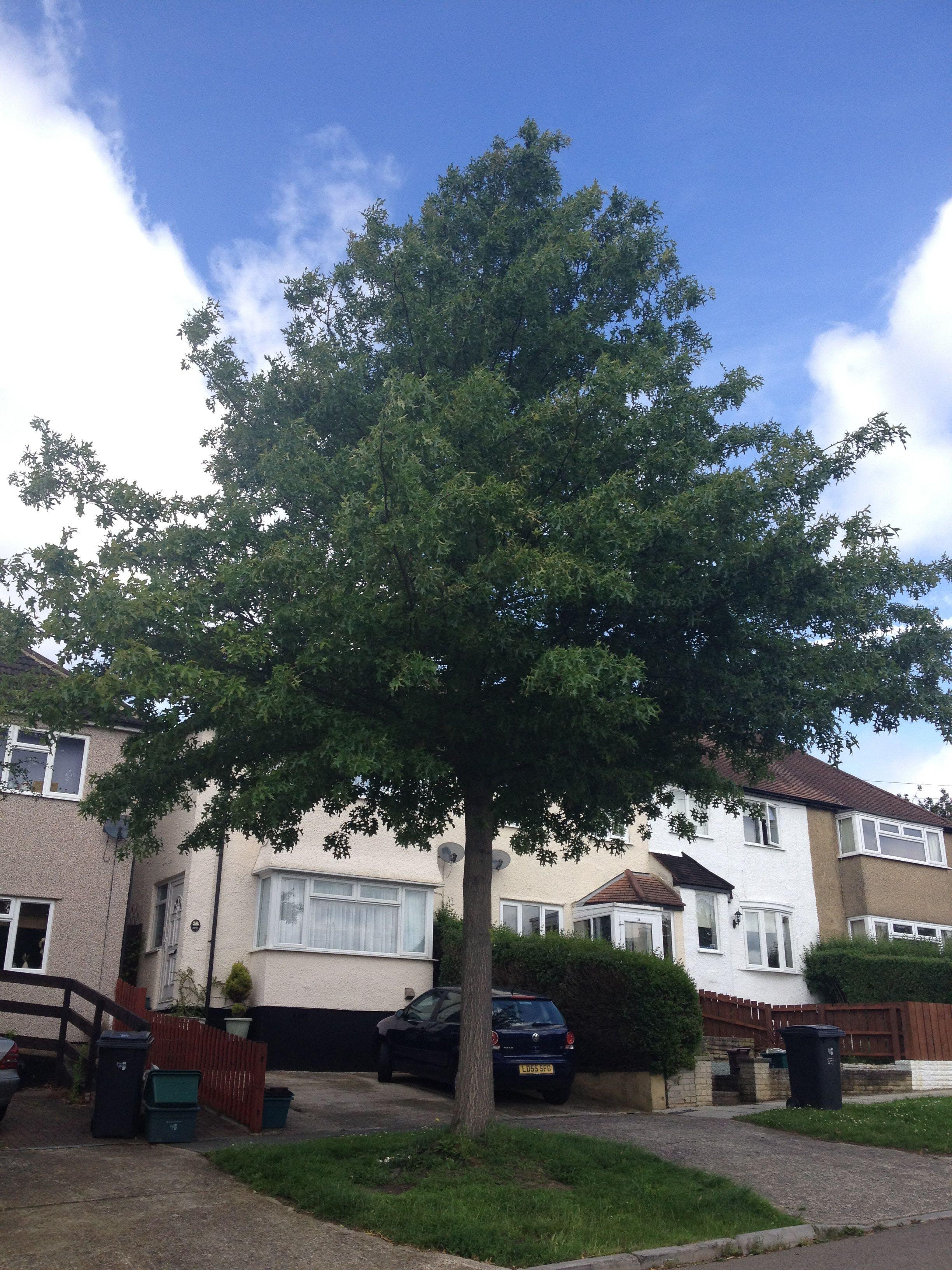 Pin Oak (Quercus Palustrus)