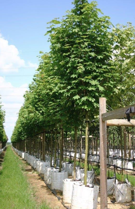 Emerald Queen Maple (Acer Platanoides Emerald Queen) © Barcham Trees PLC