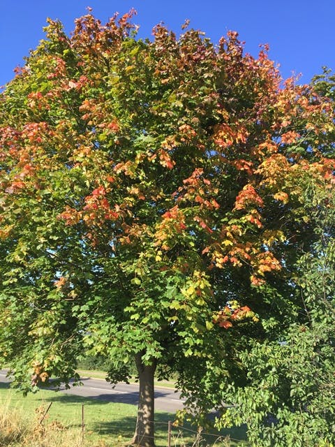 Pacific Sunset Maple (Acer Platanoides Pacific Sunset) © Barcham Trees PLC