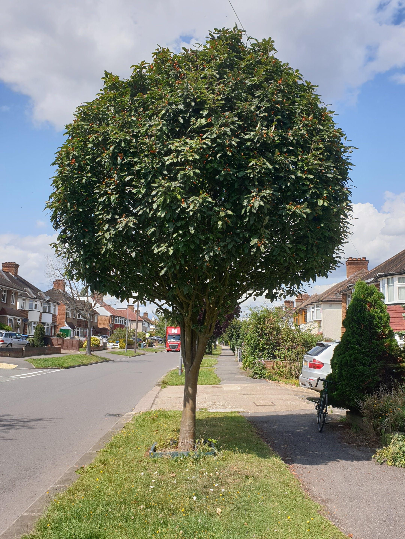 Service Tree (Sorbus Thuringiaca Fastigiata)