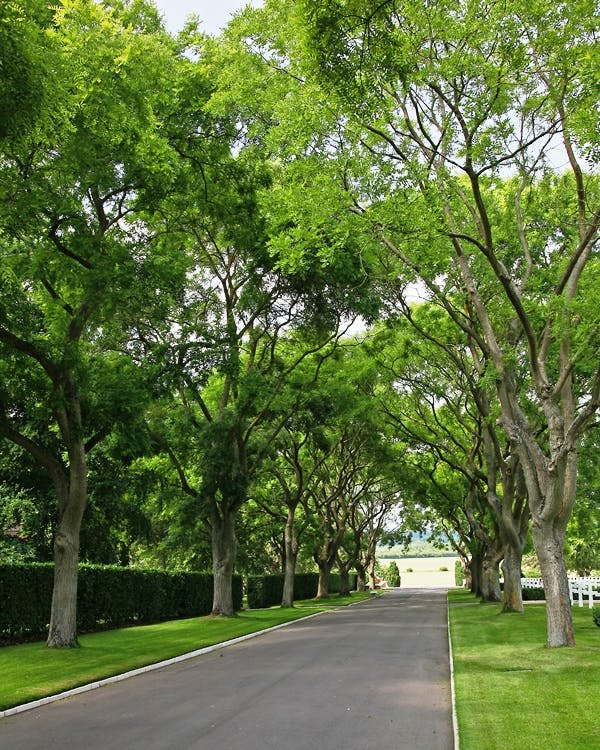 Japanese Pagoda Tree (Styphnolobium Japonicum) © Barcham Trees PLC